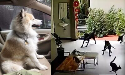 สุดเศร้า! ฝูงร็อตไวเลอร์รุมขย้ำสุนัขฮีโร่พันธุ์บางแก้วแสนรู้ตายอนาถ