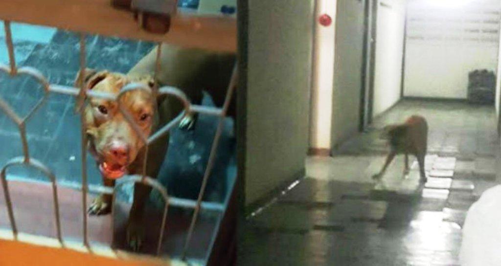สาวเลี้ยงพิทบูล 7 ตัว ปล่อยวิ่งทั่วคอนโด ผวากัดคนในลิฟต์