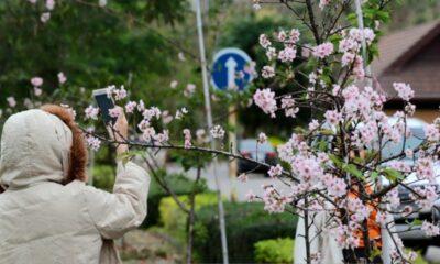 นักท่องเที่ยวสัมผัสอากาศหนาวชมซากุระเชียงรายบานสะพรั่ง