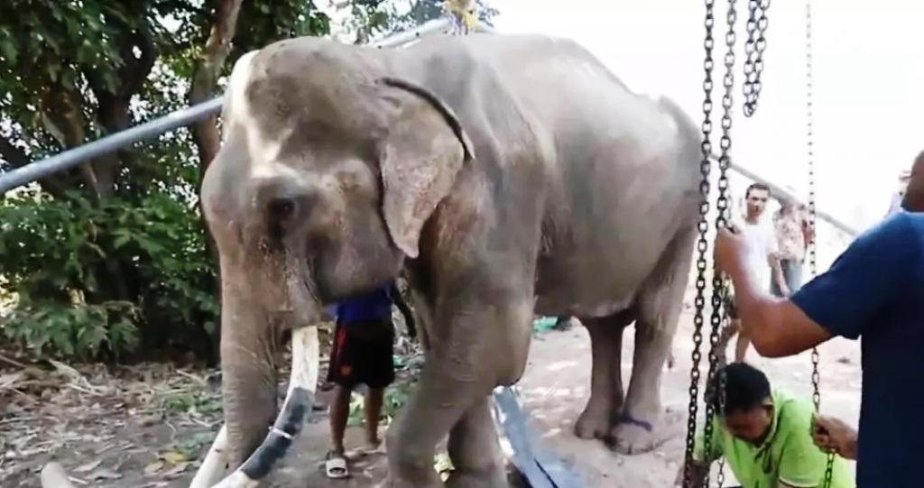 พิษโควิด ช้างขาดอาหาร ป่วยซูบผอม ทรุดยืนไม่ไหว