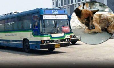 คนขับรถบัสช่วยสุนัขจรจัดที่เหนื่อยล้าจากทางด่วน