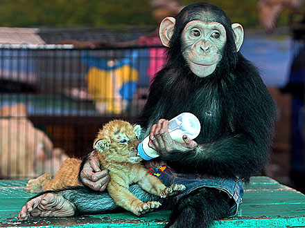 Monkey Bottle Feeds Tiger Cubs in Thailand