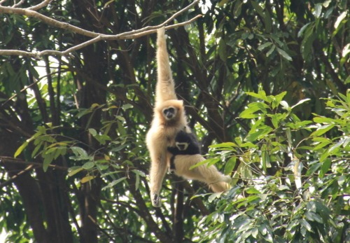 Flight of the Gibbon Conservation Project