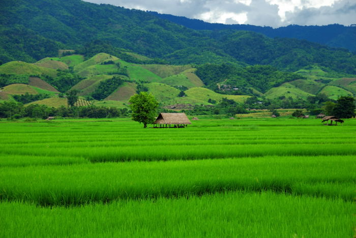 Chiangrai's Rice will Help Nation