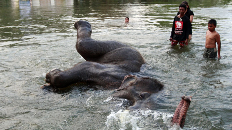 Swimming With Elephants Thailand a Stranded Elephant Swims in