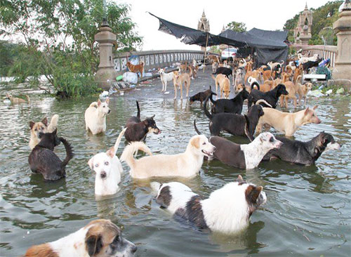 Flooding in Bangkok has left Thousands of Dogs Stranded