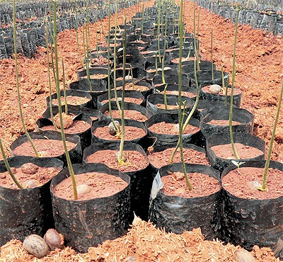 Chiangrai Farmers Starting to Grow Rubber Trees