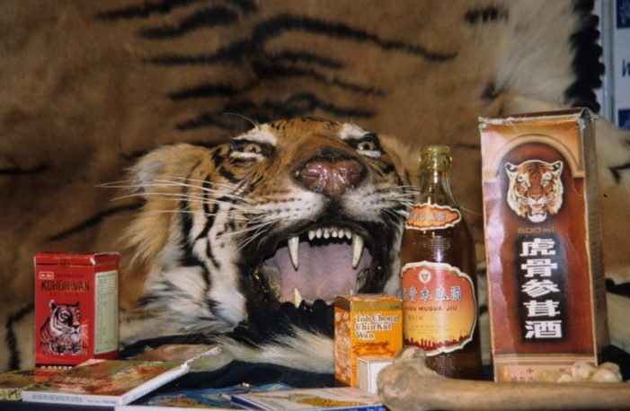 Thai Customs Officials Find and Seize Tiger Part in Mail