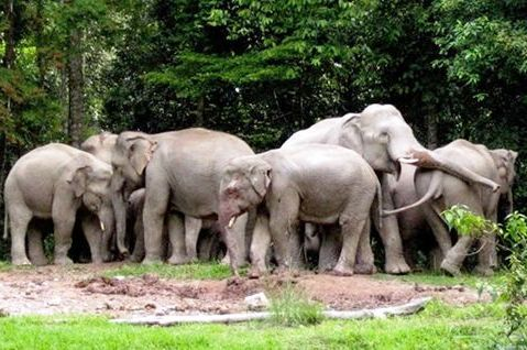 Poachers Put Wild Elephants at Risk in Thailand