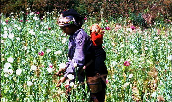 Thailand Fighting Poppy Cultivation at its Northern Boarders