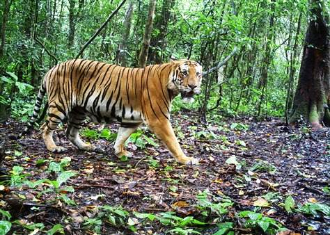 Thailand Tiger Poachers Jailed for 5 Years