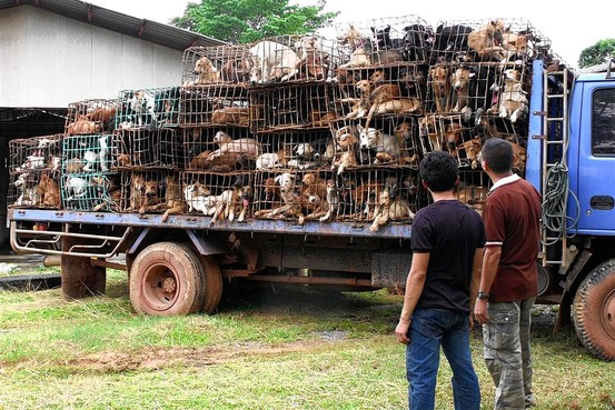 Dog Trader Caught in Nakhon Phanom, 700 Dogs Rescued