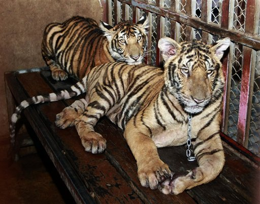 Man arrested with Six Tigers on Apartment Roof Top
