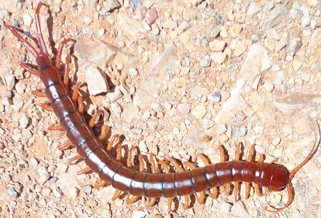 Thai Man Dies shortly after Swallowing a live Centipede