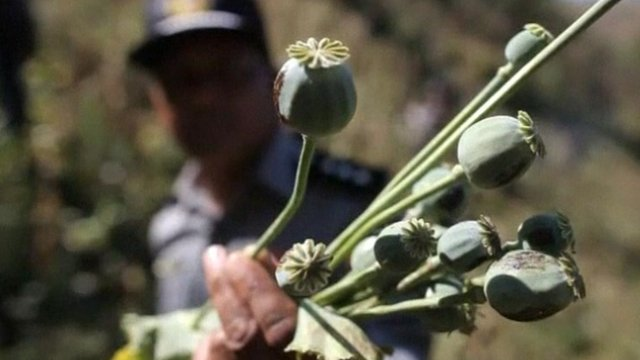 Heroin surge triggers crackdown on opium poppies