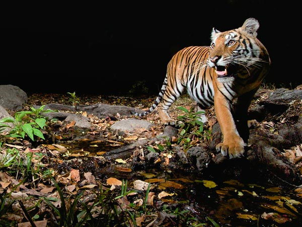 Tigers Making a Slow Comeback in Parts of Asia