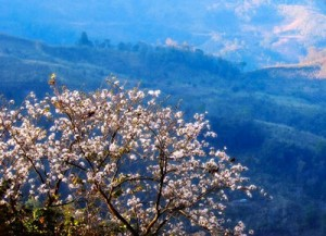 Visitors can enjoy Dok Seaw or orchid tree in full bloom,