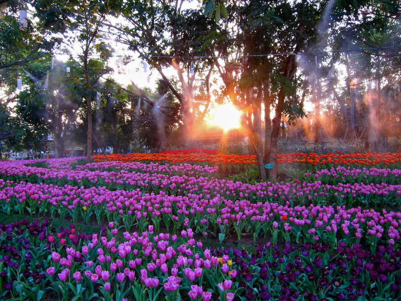 Chiang Rai will hold another flower festival between 13 and 15 February, known as the Phu Chi Fah Flower Festival at Phu Chi Fah mountain range in Terng district.