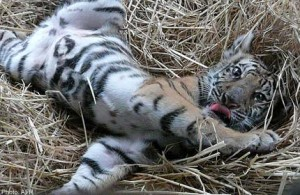 Tiger cubs were recovered from the back of a smuggler's truck.