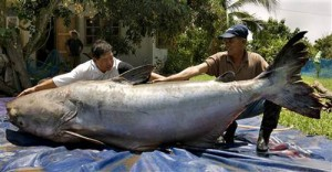 This largest catfish is considered as the largest fish ever caught in 1981. The location of the catfish is on Chiang Khong district.