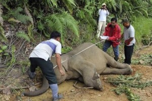 Wildlife department officials measure a dead pygmy elephant in the Gunung Rara Forest Reserve
