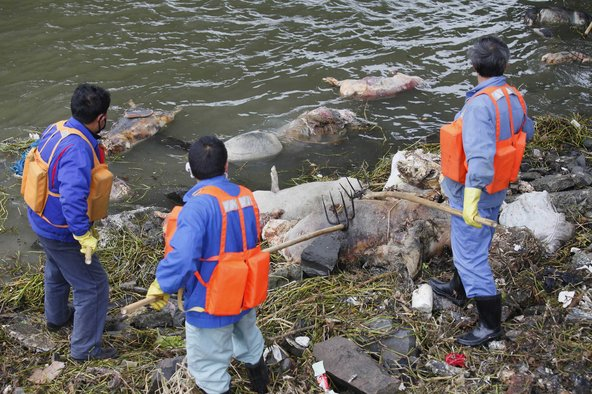 Workers retrieve the carcasses of some of nearly 6,000 pigs found dead in rivers upstream of Shanghai, including the Huangpu, which runs through the city and is one of its main water sources.