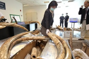 Because of national law discrepancies, African ivory often enters the Asian market through Bangkok