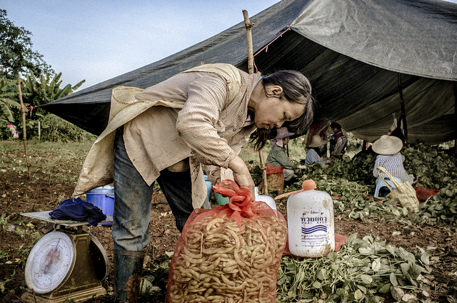 In Chiang Rai, severe drought has also taken its toll on the quality of soy beans