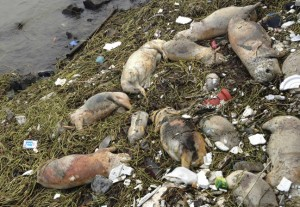Dead pigs are strewn along the riverbanks of Songjiang district in Shanghai, China.