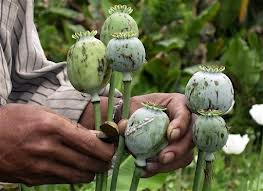 East and Southeast Asia are home to the second largest area of illicit opium poppy cultivation in the world,