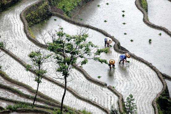 China's Cadmium-Tainted Rice Scandal