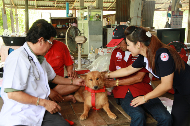 Pui has become a local hero. Yesterday Tha Rua Red Cross officials awarded him a leather collar and a medal as a token of appreciation for his clever rescue. Please credit and share this article with others using this link:http://www.bangkokpost.com/learning/easier-stuff/353368/clever-dog-saves-newborn-girl. View our policies at http://goo.gl/9HgTd and http://goo.gl/ou6Ip. © Post Publishing PCL. All rights reserved.