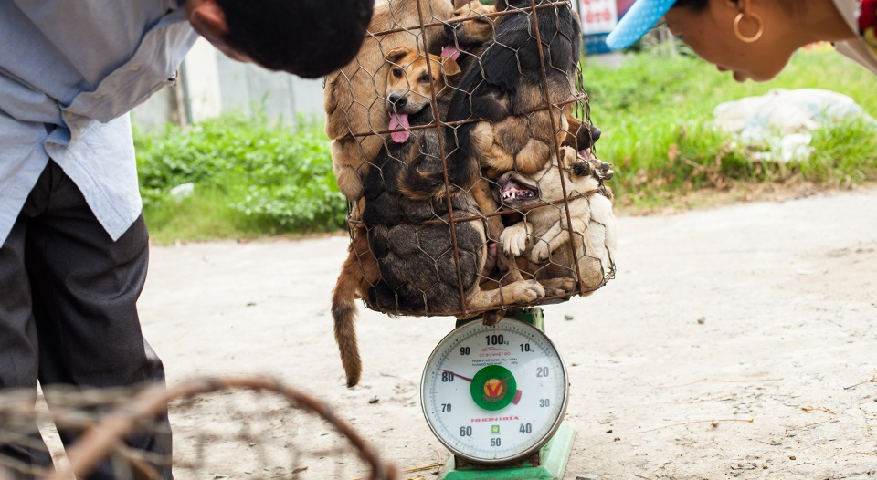 Thai authorities are struggling to stop dogs from being stolen and smuggled to northern Vietnam, where one million dogs are eaten each year.