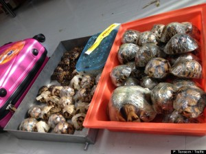 Thai authorities arrested a 38-year-old man attempting to collect a bag containing 54 ploughshare tortoises (Astrochelys yniphora) and 21 radiated tortoises (Astrochelys radiata) in Suvarnabhumi International Airport.