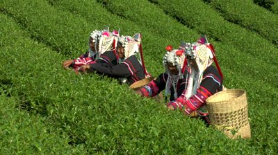 The quality of tea grown in Doi Mae Salong is more outstanding than that grown in Taiwan