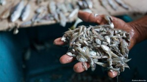 Small fish should be left in the ocean to breed and allow stock to recover, say Greenpeace