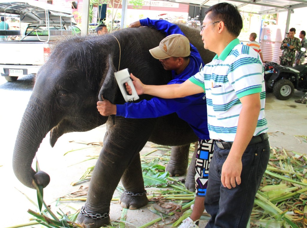 A Thai veterinarian identifies a confiscated elephant through an implanted microchip at an elephant camp on Phuket island, southern Thailand,