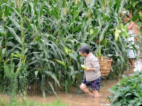 water had flowed into corn fields and caused a 'slow death' of the crop