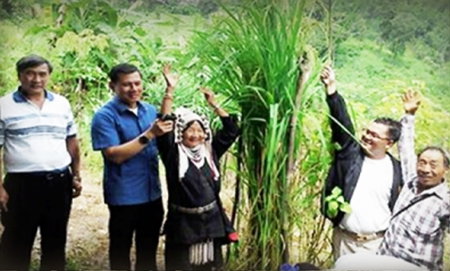 Newly found rice strain which grew more than three meters tall