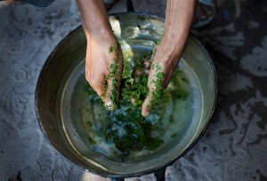A drug user in Thailand breaks up kratom leaf into a pan in the process of creating a popular cheap narcotic drink called 4x100. It is one way that the traditional herb kratom, which is now illegal in Thailand, is used recreationally.