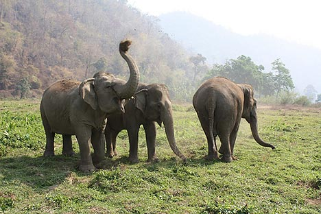 Thai Government Plans for Better Protection of Thai Elephants in the Wild
