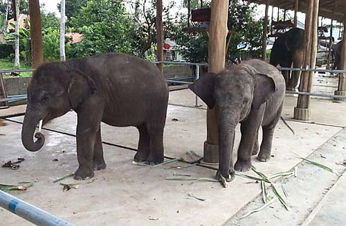 Thai Police Seize live Elephants in Clampdown on illegal Trade
