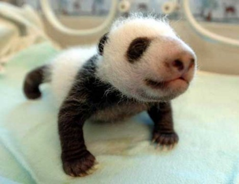 Experts said after examinations that the baby panda weighed 1,250 grams and was 23 centimeters long. They added that the baby panda is in good physical condition. Read more: http://www.abc15.com/dpp/news/national/china-panda-cub-gets-first-checkup-video#ixzz2dkEiVglt