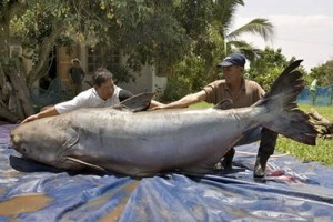 The biggest catfish ever caught was 646 lbs. This was the Largest fresh water fish ever recorded being caught.