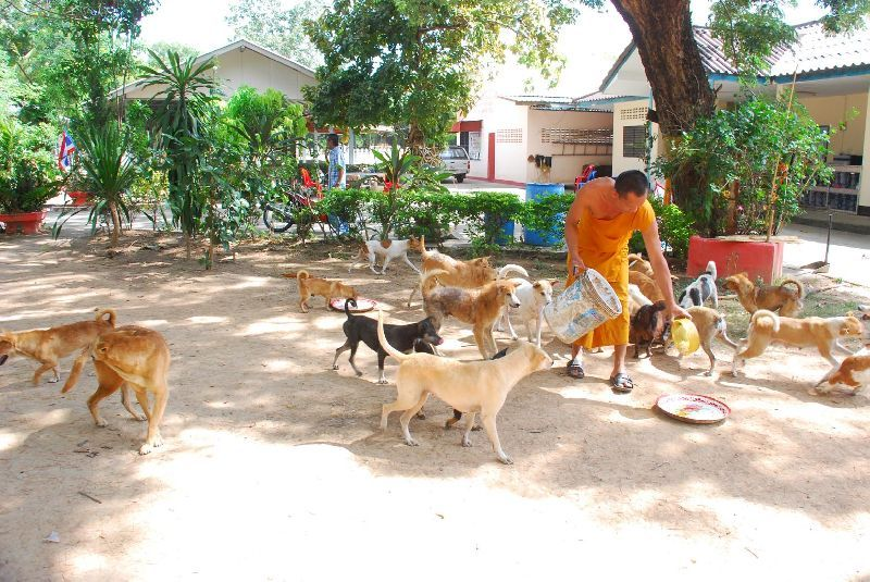 The temple, Wat Tha Ratch Chai Sri, is overcrowded with more than 100 dogs abandoned to the cares of the temple monks by their former owners