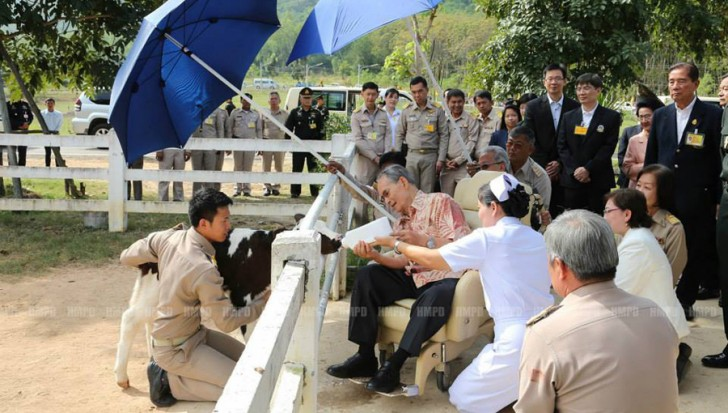 His Majesty the King feeding a young calf at the Royal Dairy Project in Phetchaburi