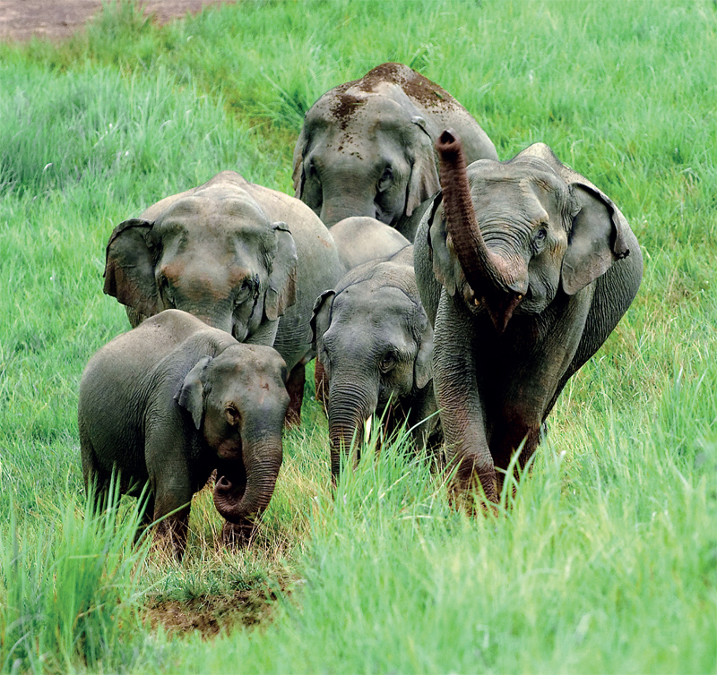 Wild Elephants in Thailand's Kaeng Krachan National Park in the western province of Petchaburi