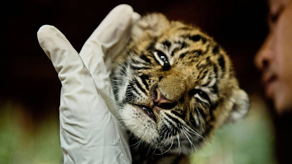 Thai Police Sieze 5 Tiger Cubs from Animal Traffickers