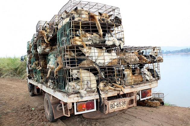 Hundreds of smuggled dogs inside cages on a truck that were seized near the Thai-Laos border province of Nakhon Phanom, Thailand