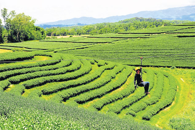 1 Sorattaya Markprasert, a staffer at Singha Park, not far outside Chiang Rai town, checks out a zip-line over a tea plantation that is due to be opened to the public at the end of this month.